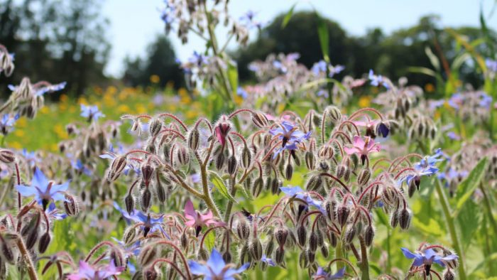 Meadow of Memories Borage 1